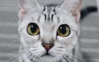 Американский кот короткошерстный