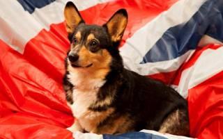 Английские собаки