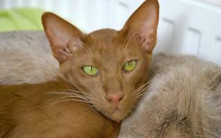Восточные породы кошек