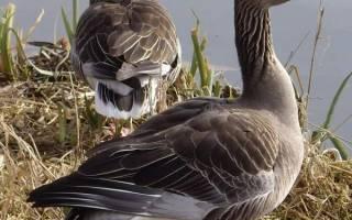 Чем крупные серые гуси отличаются от белых
