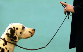 Как научить ходить собаку на поводке