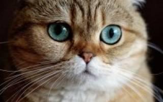 Вислоухие породы кошек: в чем их особенности