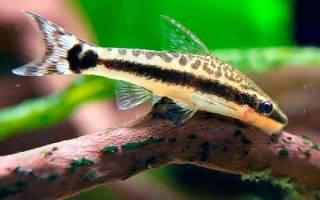 Сомики аквариумные их разновидности: сомик лисичка