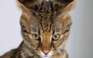 Кошка саванна: поведение и характер