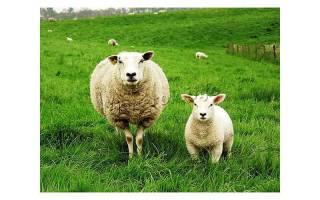 Овцы в Украине: основные породы
