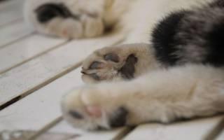 Кошка хромает на переднюю, заднюю лапу