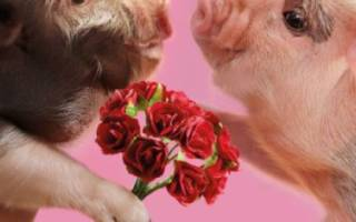 Размножение свиней: особенности