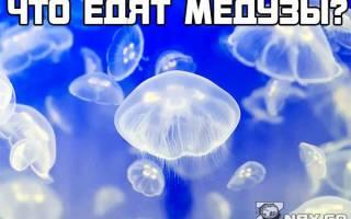 Питание медуз