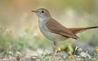 Соловей – певчая птица