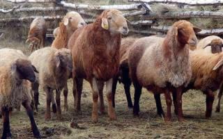 Эдильбаевские овцы: разведение и содержание