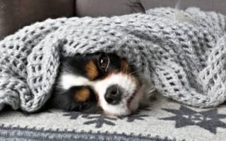 Как лечить собаку от простуды