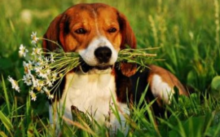 Эстонская гончая: дрессировка щенка