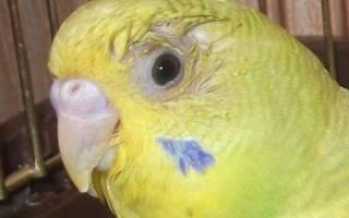 Болезни глаз волнистых попугаев