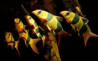 Аквариумные рыбки боция клоуны