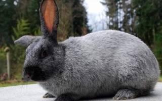 Порода кроликов: серебристый великан
