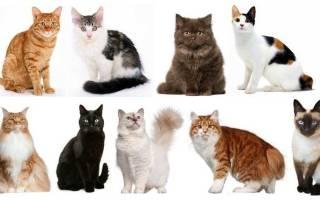 Как узнать, породистая ли кошка