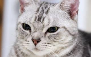 Американская короткошерстная кошка черная