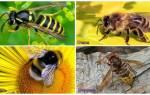 Шершни, осы, шмели: кто опасней