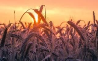 Пшеничная каша для собак