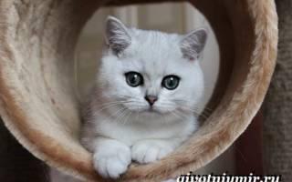 Серебристая шиншилла: характер кошка