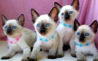 Всё, что вы хотели знать о сиамской породе кошек!