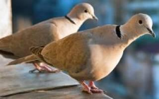 Уличные голуби: чем можно кормить уличных голубей