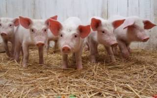 Вентиляция свинарников: микроклимат в свинарнике
