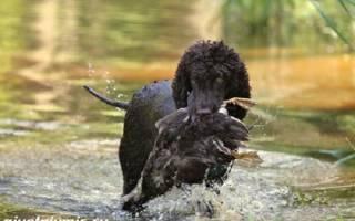 Испанский водяной спаниель – отличная охотничья порода