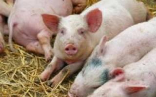 Масса свиньи: определение живой массы свиней