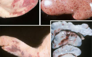 Чумка у свиней: симпотомы, лечение