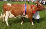 Айрширские коровы: айрширская молочная порода коров