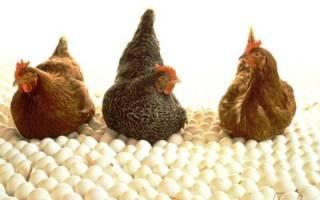 Разведение куриц-несушек: 10 правил