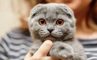 Британская вислоухая кошка белая: особенности