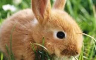 Почему у кроликов гноятся глаза