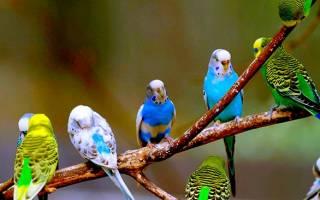 Сколько живут волнистые попугаи в неволе при должном уходе