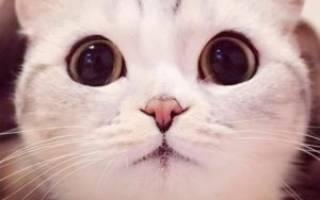 Порода кошек с большими глазами