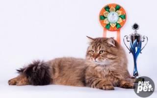 Сибирская кошка: стандарт породы