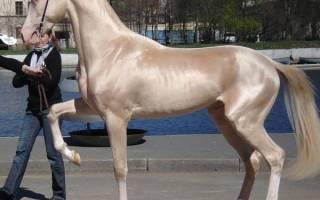 Ахалтекинская порода лошадей: как выбрать лошадь