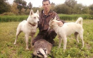 Охота на барсука с собаками