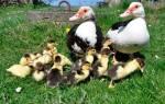 Содержание мускусных уток: гнездо для утки
