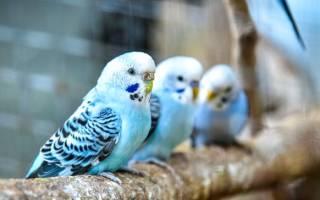 Волнистый попугай: обучение самцов речи