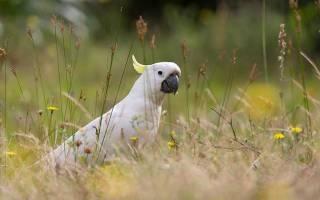 Сколько живут какаду