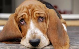 Красные белки глаз у собаки: в чем причина