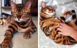 Все о бенгальских кошках и уходе за ними