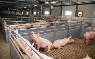 Системы содержания свиней: выгульное содержание