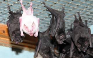 Как поймать летучую мышь дома