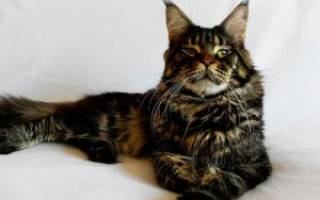 Как ужиться с большой кошкой – мейн куном