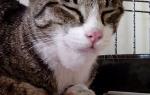 Опух подбородок у кошки: причина воспаления