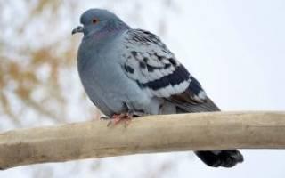 Как содержать голубей зимой