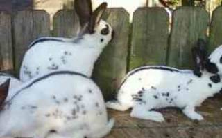 Кролик бабочка: чем кормить кроликов породы бабочка